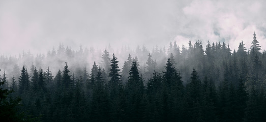 Pine forest panorama in mist