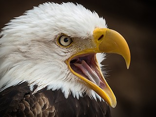 Close up of bald eagle