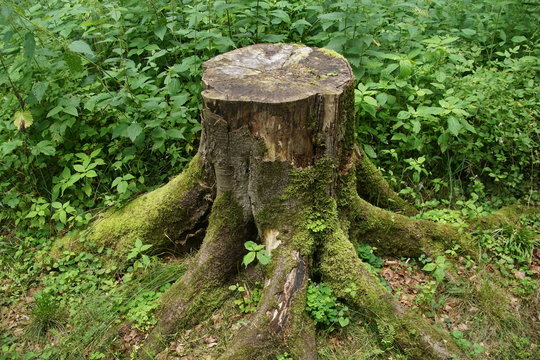 Cut off tree trunk in a forest
