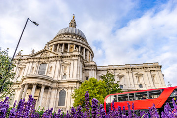 St. Paul's Cathedral and red bus in London with lavender on the foreground