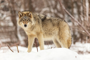 Canvas Prints Wolf a lone timber wolf in winter