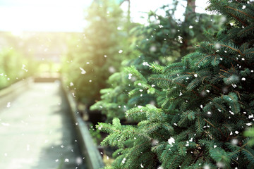 Beautiful coniferous trees for Christmas sale in greenhouse