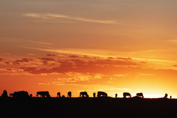 Wall Mural - Sunset Silhouette Wildebeest in Africa