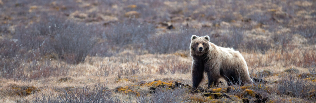 Young Grizzly Bear scavenging in the mountain in Denali National Park in Alaska United States