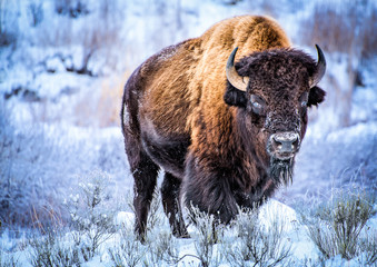 Door stickers Bison Big male byzon standing in the snow and staring at camera