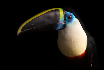 Deurstickers Toekan White-throated Toucan (Ramphastos tucanus)