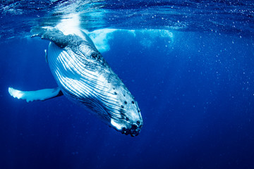 ザトウクジラの子供