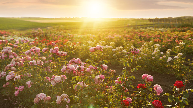 Bushes with beautiful roses outdoors on sunny day