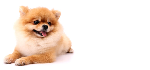 Pomeranian dog with White backdrop and copy space.