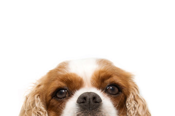 close-up portrait  hide cavalier dog with big ears. Isolated on white background.