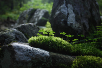 clover with moss lit by the sun on the stones in the mountains. Nature background.