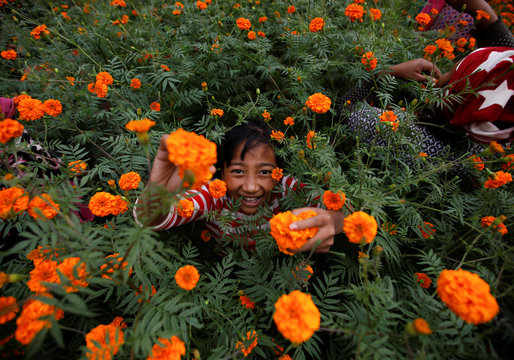 A girl picks marigold flowers, used to make garlands and offer prayers, before selling them to the market for the Tihar festival, also called Diwali, in Kathmandu