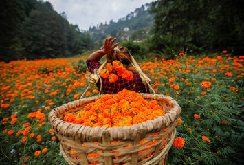 A woman fills her basket with marigold flowers, used to make garlands and offer prayers, as she plucks them before selling to the market for the Tihar festival, also called Diwali, in Kathmandu