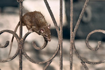 The brown rat climbs the temple fence. Fototapete