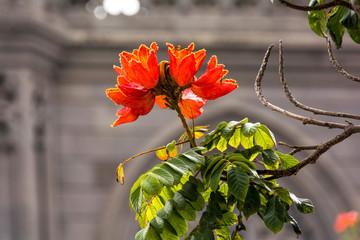 Afrikanischer Tulpenbaum auf Gran Canaria
