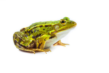 Foto op Plexiglas Kikker Male green Frog on white