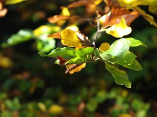Bunte Blätter einer Buche im Herbst