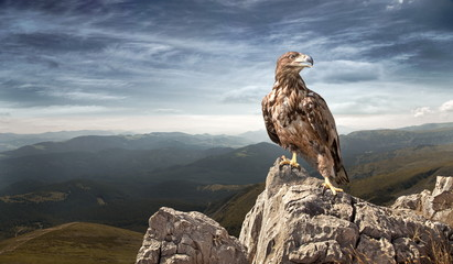 Photo sur Plexiglas Aigle an eagle sits on a stone in the mountains