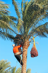 Men harvest dates on palm tree. Workers gather dates growing on palm tree