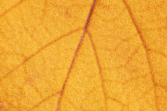 Leaf structure, yellow nature background. Leaf vein pattern. Macro photography high resolution.