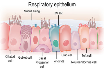 Respiratory epithelium in humans showing different cell types. Biomedical illustration.