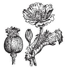 Opium vintage illustration.