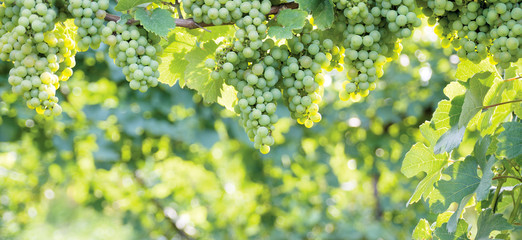 Bunch of grapes hanging on a horizontal vine