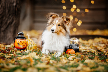 Shetland Shepherd dog ready for halloween