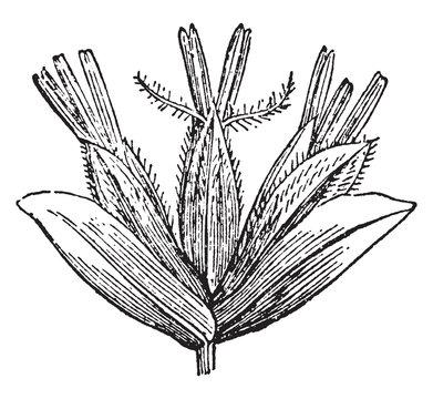 Phalarideae vintage illustration.