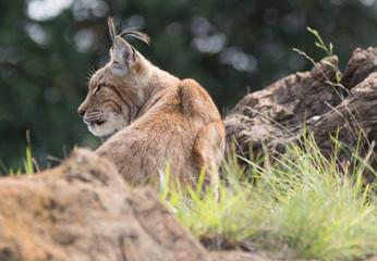 Aluminium Prints Lynx Iberian lynx in cabarceno, spain
