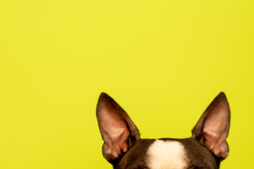 Top of the head of a dog with large black ears Breed Boston Terrier on a green background. Creative.