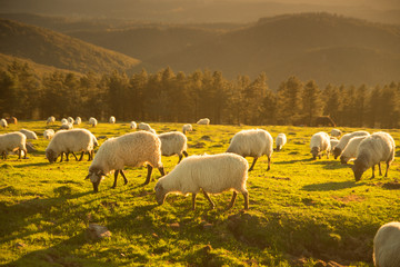 Sheeps eating grass in the mountains in the basque country