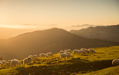Canvas Prints Honey Sheeps eating grass in the mountains in the basque country