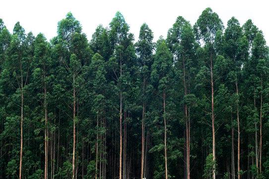 Eucalyptus forest isolated on white background.