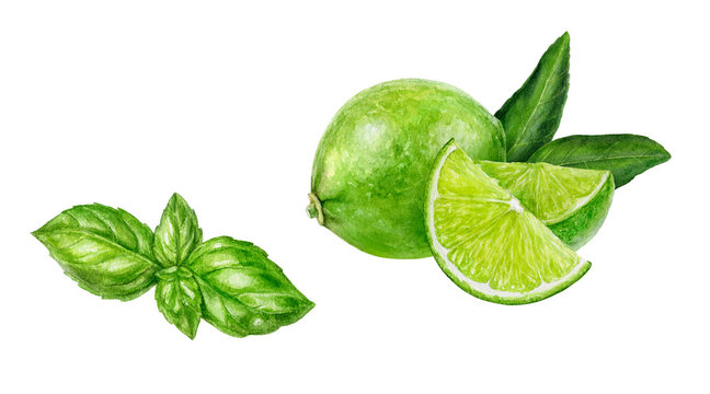 Basil lime set composition watercolor isolated on white background