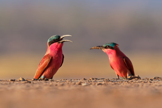 Beautiful red bird - Southern Carmine Bee-eater - Merops nubicus nubicoides flying and sitting on their nesting colony in Mana Pools Zimbabwe, Africa