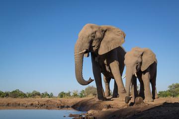 Foto auf Acrylglas Elefant Drinking Elephant