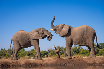 Canvas Prints Elephant Elephant Pair