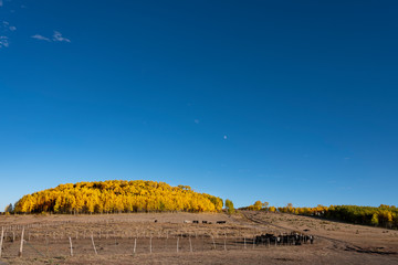 Aspen Grove and Beef Cattle, Escalante
