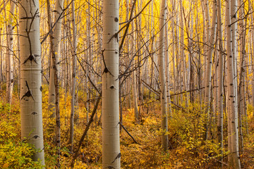 Golden Underbrush and Backlit Aspen Forest