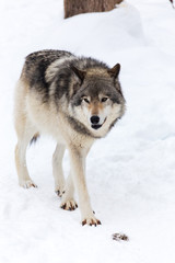 Deurstickers Wolf A lone timber wolf in winter