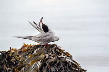 Arctic tern, sterna paradisaea, stretching on stone with kelps.