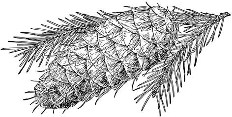 Pine Cone of Bigcone Douglas Fir vintage illustration.