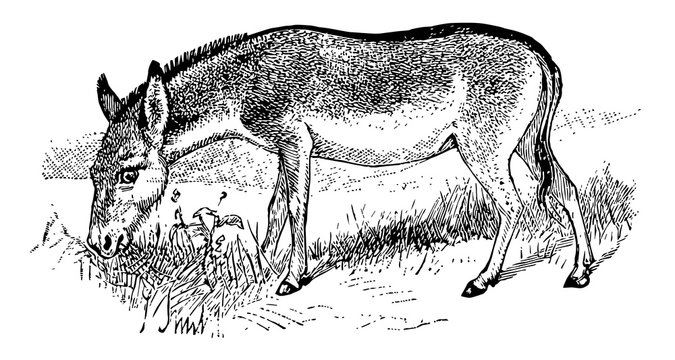 Khulan, vintage illustration.