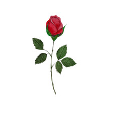 Watercolor drawing of a red rose bud. Isolated on white background.