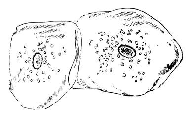 Squamous Epithelium Scales, vintage illustration