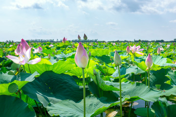 The lotus bloom in the field on a summer morning in the swamp. Flower symbolism of Buddhism