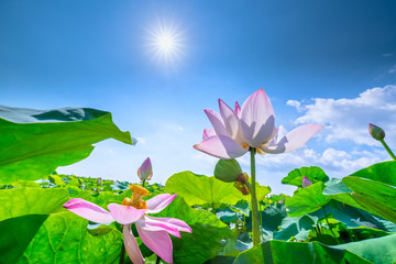 The blooming lotuses rise in the morning sun to show the spiritual direction of life