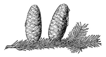Obraz Pine Cone of Balsam Fir vintage illustration. - fototapety do salonu