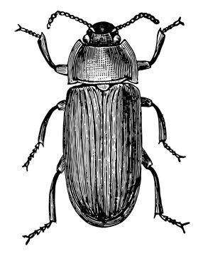 Mealworm Beetle, vintage illustration.